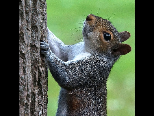 Grey Squirrel - Nat History - Adv