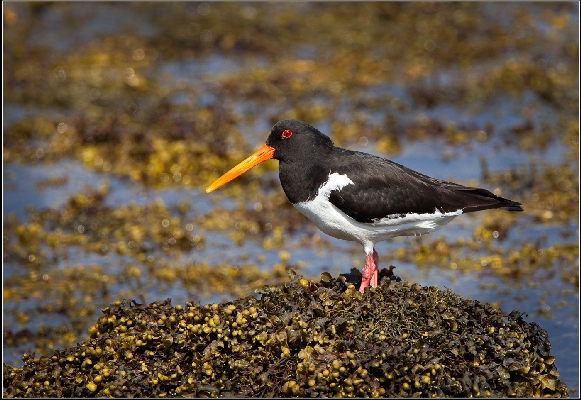 Oystercatcher On Kelp