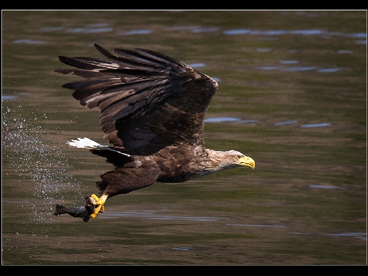 White Tailed Eagle With Fish