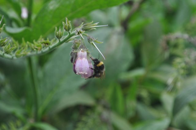 compfrey with pollinating bee