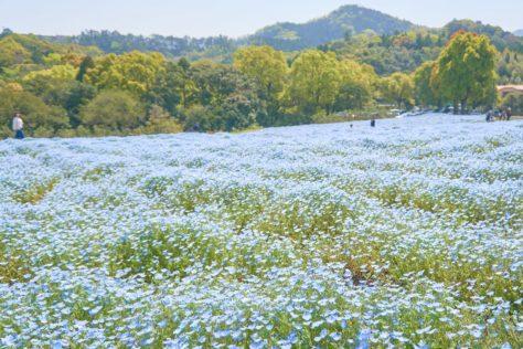 鹿児島県の慈眼寺公園でネモフィラの青色が一面に広がる