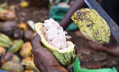An Ivorian cocoa farmer breaks organic cocoa pods in the plantation in M'brimbo, a village in central Ivory Coast village near Tiassale, on April 19, 2021