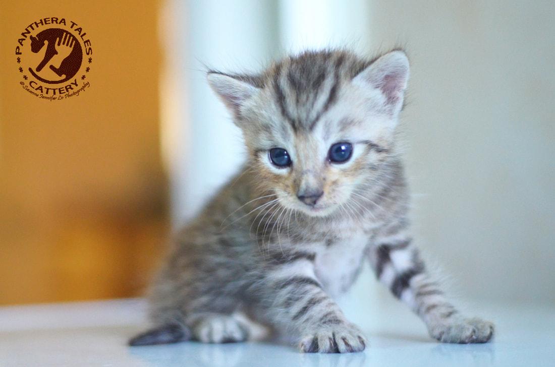@摩揭陀玩具虎貓舍@ 潘提拉彪貓 玩具虎貓 出售中 請勿錯過。.賣玩具虎貓 寵寵微積-寵物買賣-寵物論壇