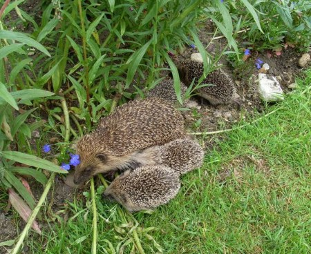 hedgehoglets.jpg?ssl=1&w=450&profile=RESIZE_710x