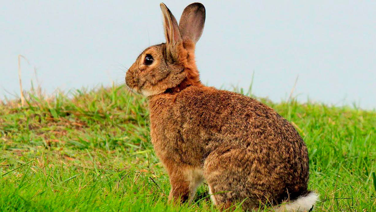 deadly rabbit disease inches
