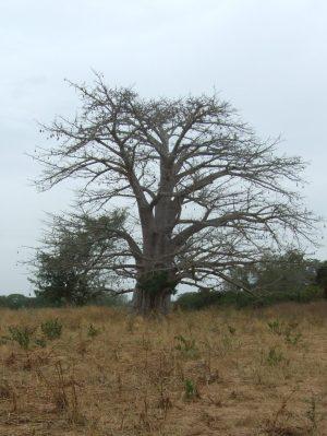 boom, niet dezelfde als waar Ba Sarjo uitgevallen is