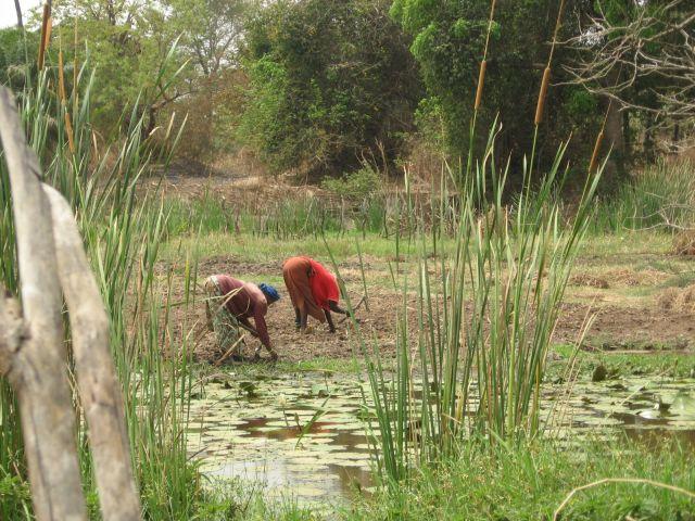 rijstvelden Gambia
