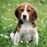 Beagle Apple Dog Animal