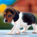 Beagle Dogs Wallpapers hd