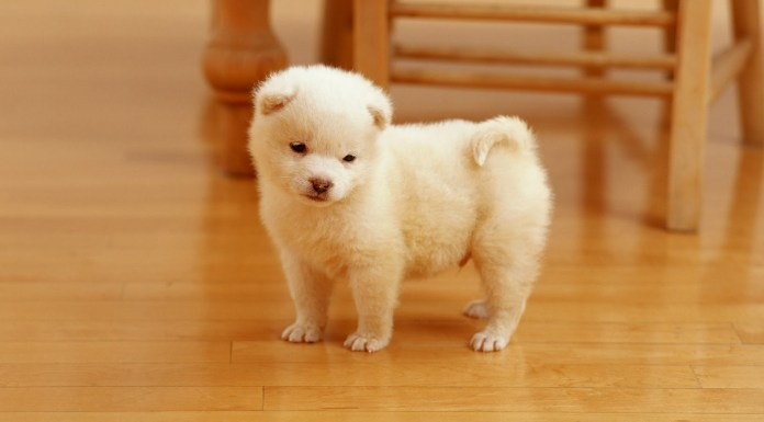 cutest puppy hd wallpapers