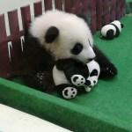 ZOO NEGARAの子供パンダがかわいい❤マレーシア国立動物園