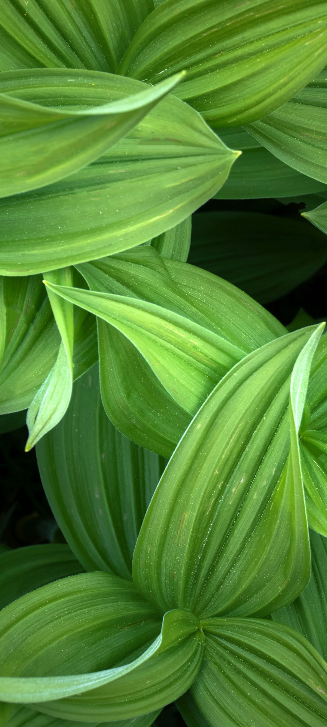 Find the perfect green pointed leaves stock photo. Green leaves 4K Wallpaper, Closeup, Plant, 5K, Nature, #2939