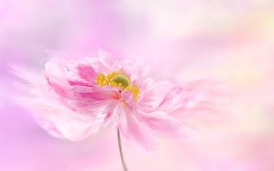 Pink flower 4K Wallpaper Pink background Blossom Flowers #2049