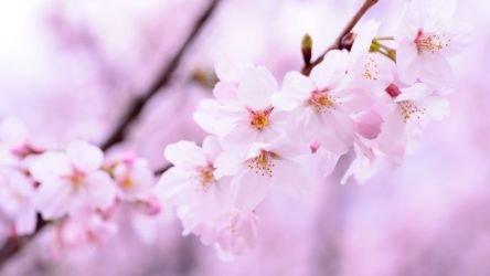 Cherry blossom 4K Wallpaper Cherry flowers Spring Pink flowers Pink background 5K Flowers #1216