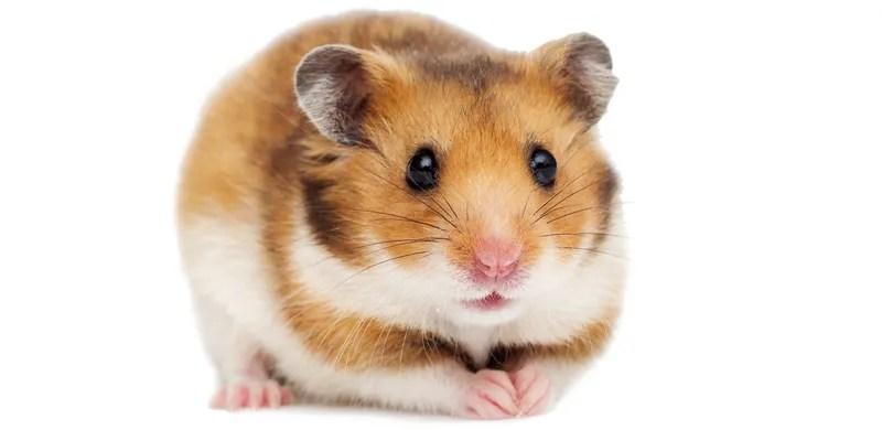 Syrische (goldene) Hamster
