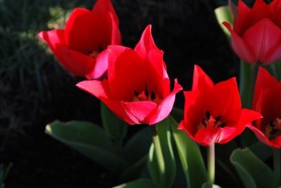 Inside_of_a_tulip