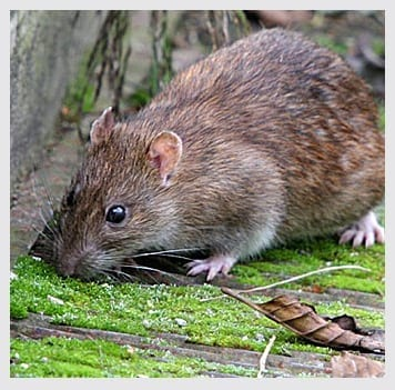 Norway Rat Control in Morris County, New Jersey | NJ Pest Control