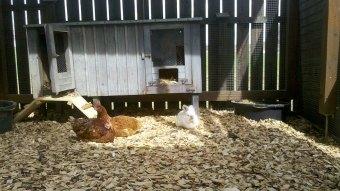 Mustafa und Hühner