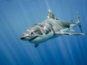 Gefährlicher Hai