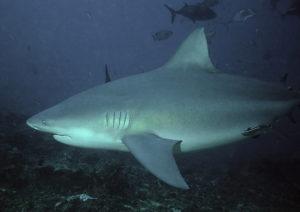 Großer Bullenhai