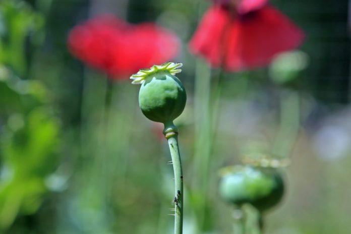 Codein-Pflanze