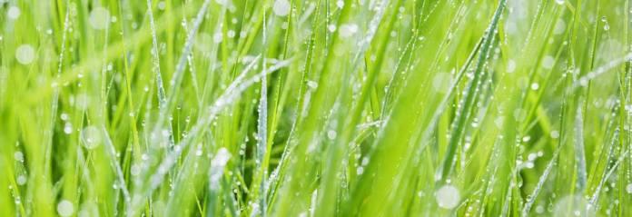Wassertropfen auf Grashälmen