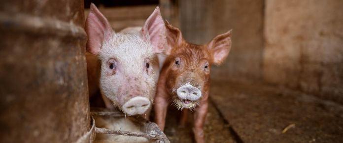 Schweinchen im Mastbetrieb