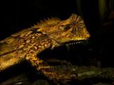 2013 - Gonocephalus kuhlii #2