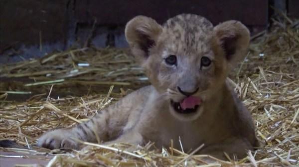 Lion cub born via artificial insemination at Singapore zoo