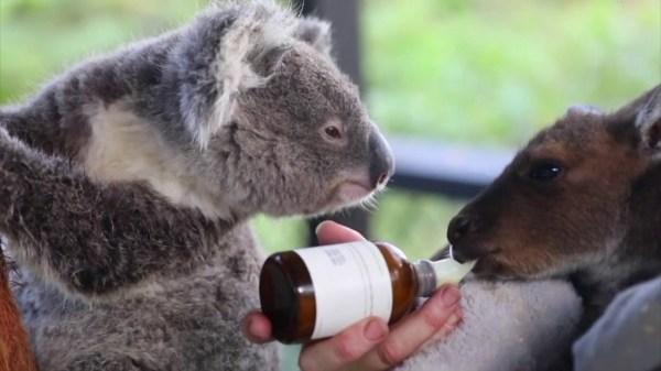 Koala and kangaroo joey duo form unlikely friendship