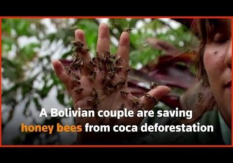 Bolivian couple saving honey bees from coca deforestation