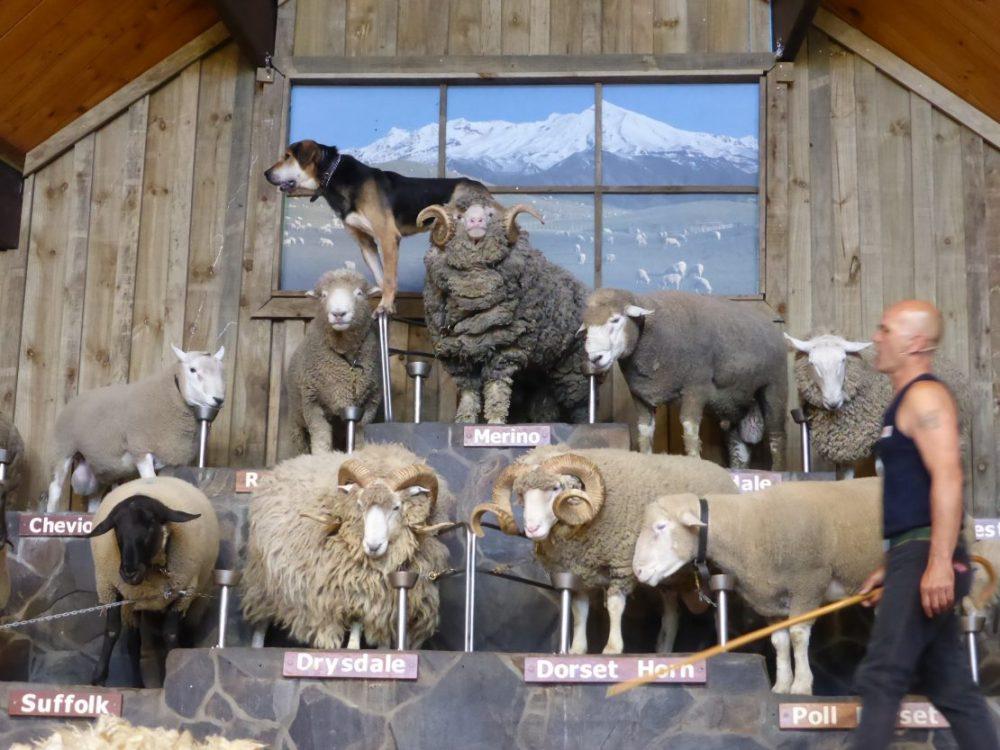 agrodome, rotorua, sheep show