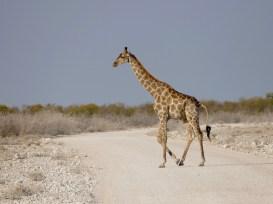 Giraffe Etosha National Park