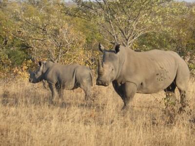 Timbavati Africa rhinos