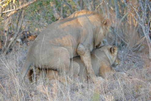 Mating lions in the Timbavati