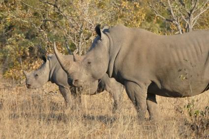 rhino, safari