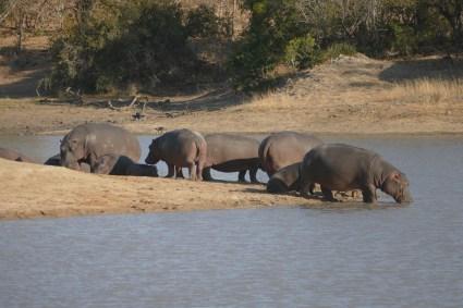 hippos, safari