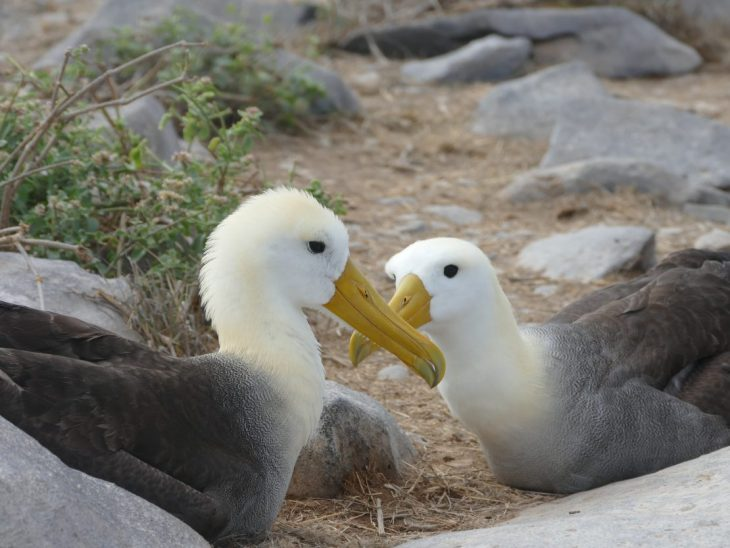 Waved albatross on Espanola