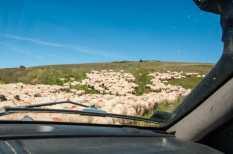 Sheep on Muntele Mare