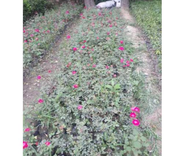 Red Fresh Desi Rose Plant For Indoor And Outdoor