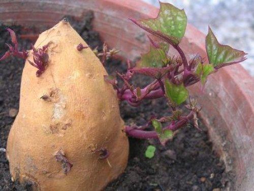我們一直以為我們吃馬玲薯和蕃薯都是吃它們的