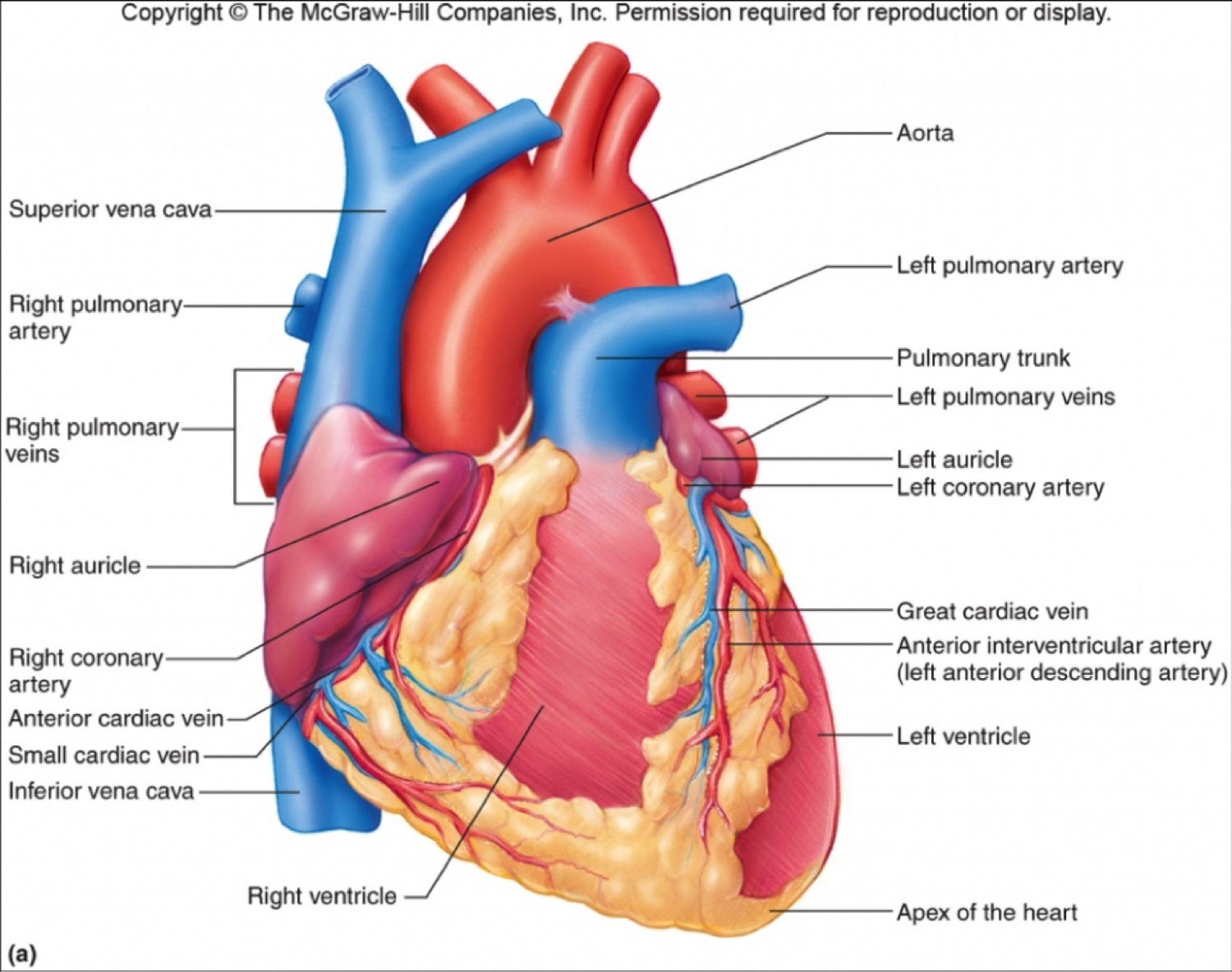 hight resolution of the two chambers of your heart are the atrium and the atria the heart is one of the most important organs