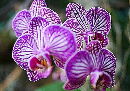 lundi soleil violet Tribulationsduneqquinqua orchidees