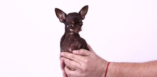 This image shows the world's most smallest Dogs