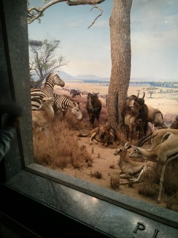 Museums In 70 Weeks American Museum Of Natural History Akeley Hall African Mammals