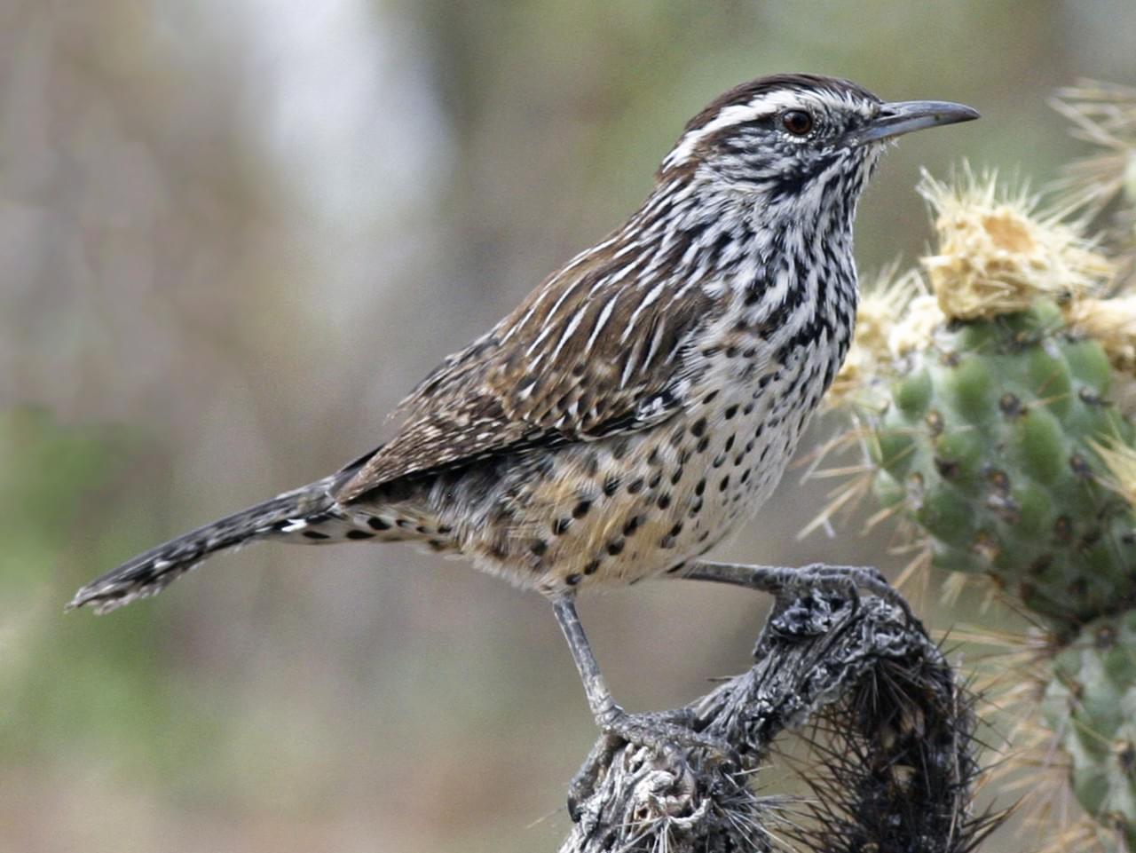 Arizona State Bird Cactus Wren 50states
