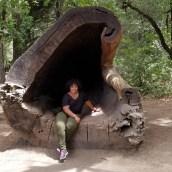 In a fallen redwood tree.