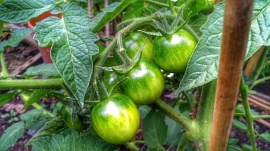 Plot 51 Garden delight tomato