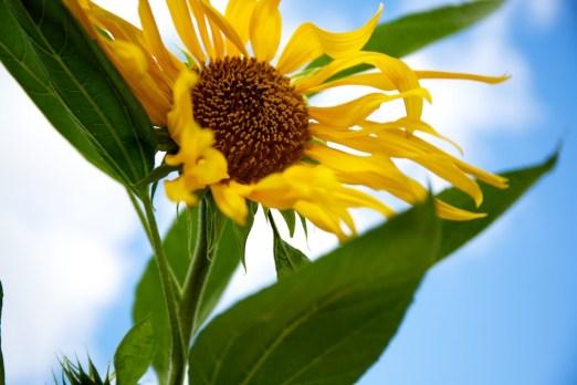 Plot 51 Sunflower