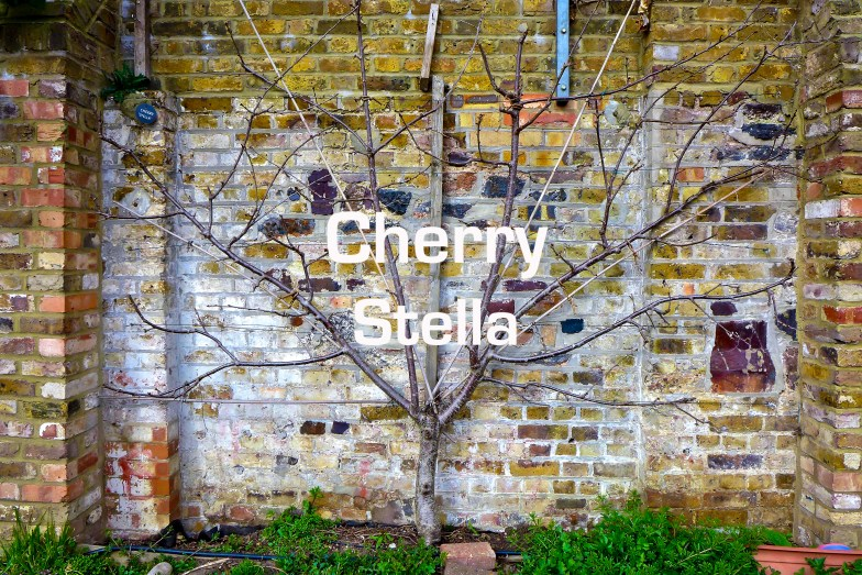 Plot 51 Cherry 'Stella'